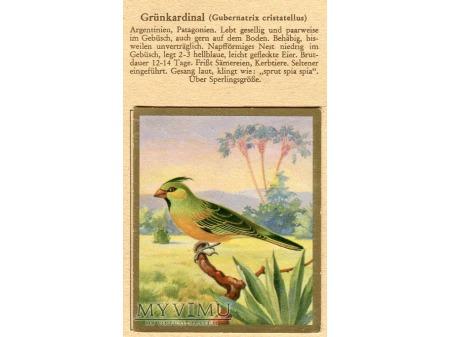 Duże zdjęcie KARDYNAŁEK ŻÓŁTY Gubernatrix cristatellus nr 86