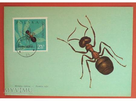 1963 mrówka rudnica karta Maximum Maksimum