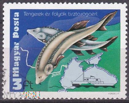 European Sturgeon (Huso huso)
