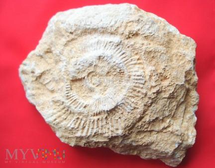 Duże zdjęcie Amonit 28