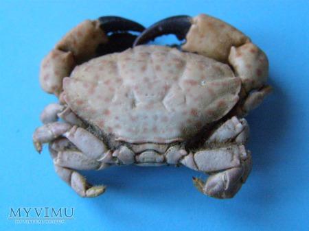 Duże zdjęcie 06. Krab z Morza Czarnego