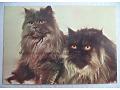 Kot perski - kartka pocztowa