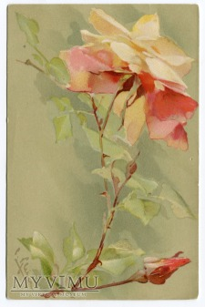 Catharina C. Klein kwiat róża roses