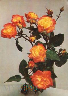 Róża Samba
