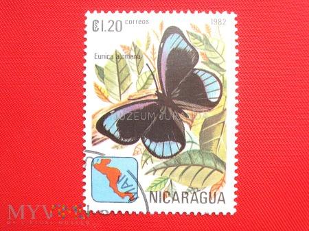 Duże zdjęcie Motyl Eunica alcmena
