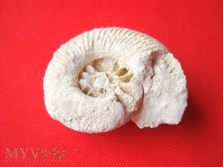 Duże zdjęcie Amonit 7