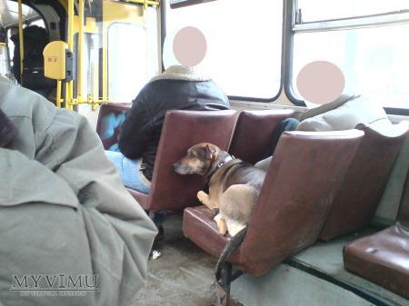 Duże zdjęcie Jak pies pilnował pana Warszawa Autobus 138