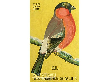 GIL - Ptak chroniony