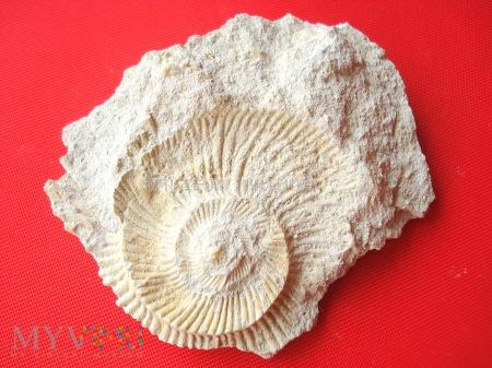 Duże zdjęcie Negatyw amonita 5