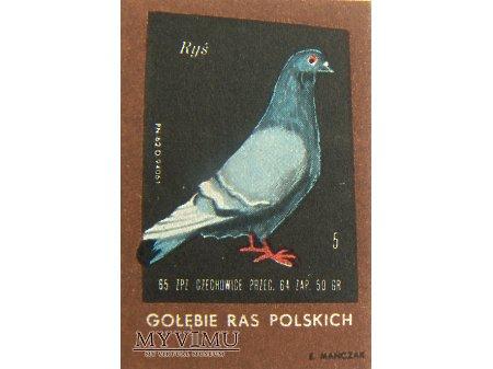 RYŚ (gołąb rasy polskiej)