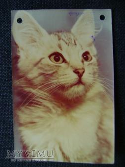 kot domowy