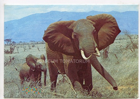 Kenya - Słoń i słoniątko - lata 70-te XX w.